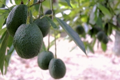 Aongatete_avocadoes_grow-1-of-26