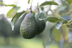 Aongatete_avocadoes_grow-10-of-26