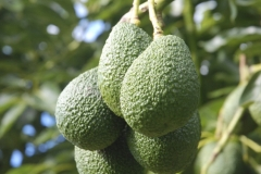 Aongatete_avocadoes_grow-5-of-26