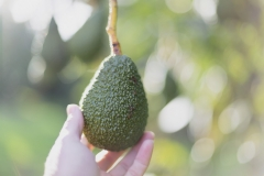 Aongatete_avocados_manage-3-of-6