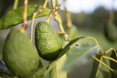 Aongatete_avocados_manage-4-of-6
