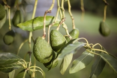 Aongatete_avocados_manage-5-of-6